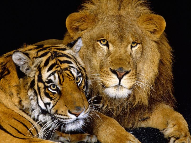 Царь зверей против хозяина тайги: кто сильнее — лев или тигр