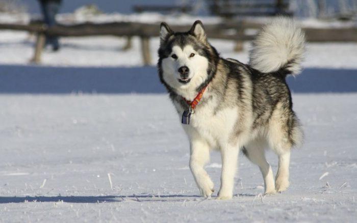 Маламут бежит по снегу