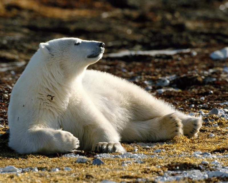 Ветеринары осматривают белого медведя, который заболел аллергией