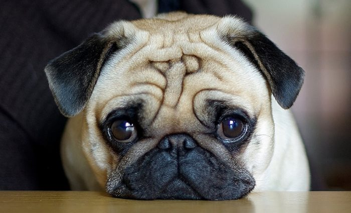Собака породы мопс