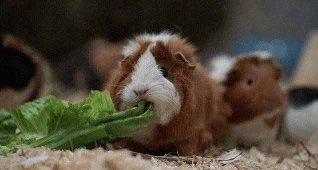 Морские свинки в приюте Саскии хорошо питаются
