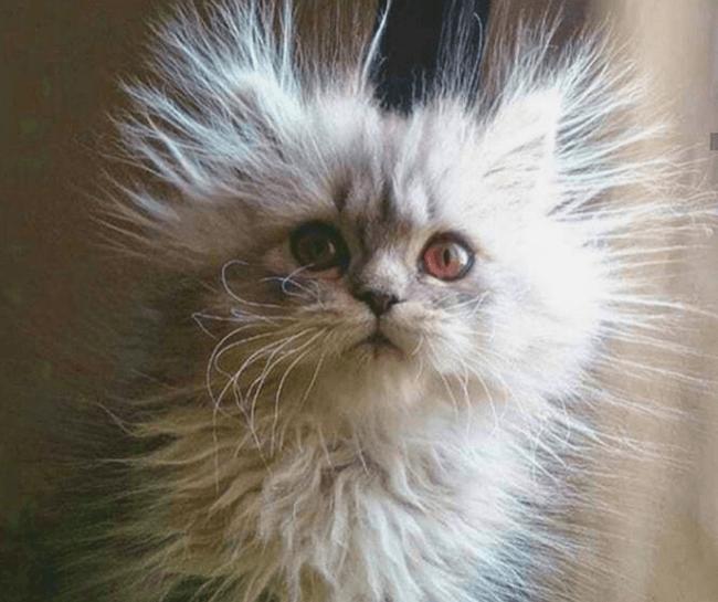 Суперпушистый кот