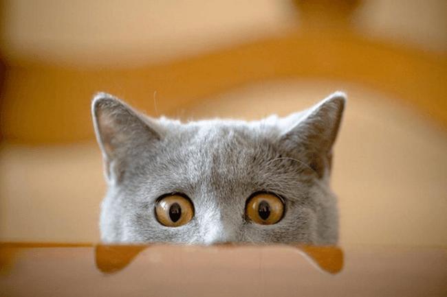 Кот выглядывает из-за стола