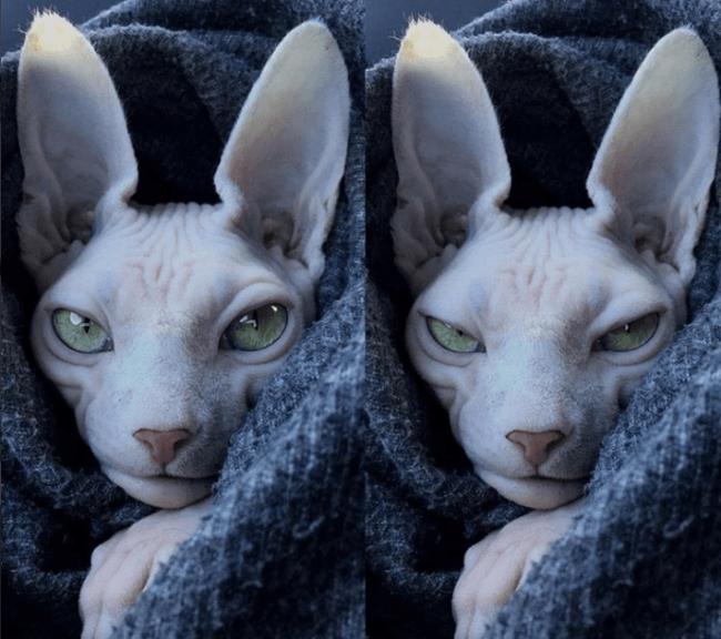Кот-сфинкс не в духе