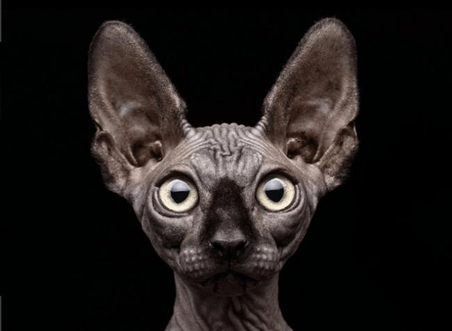 Кот-сфинкс с большими глазами