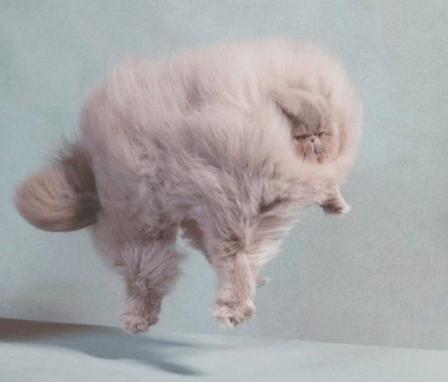 Суперпушистая кошка в полете