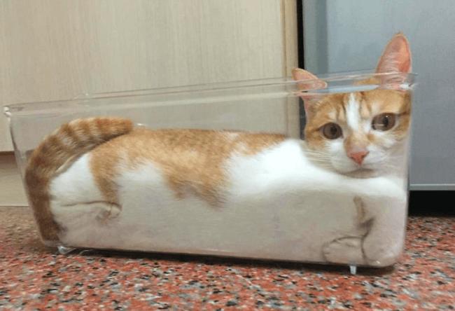 Кошка в стеклянном противне
