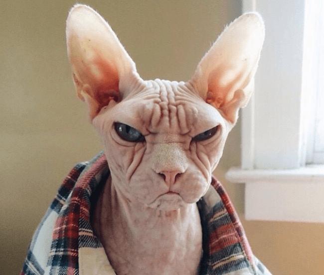 Светлый кот-сфинкс не в духе