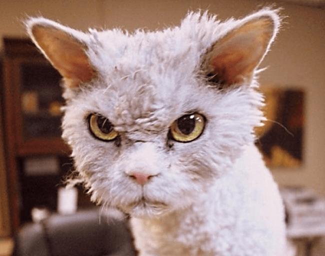 Стриженый недовольный кот