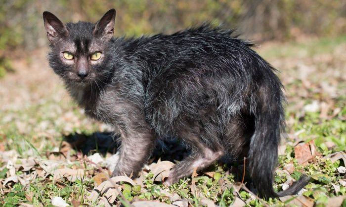 Кошка породы ликой