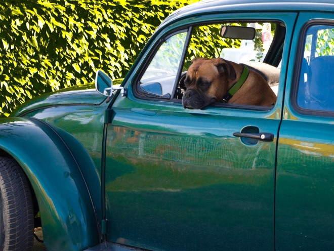 Собаку укачивает в машине: что делать