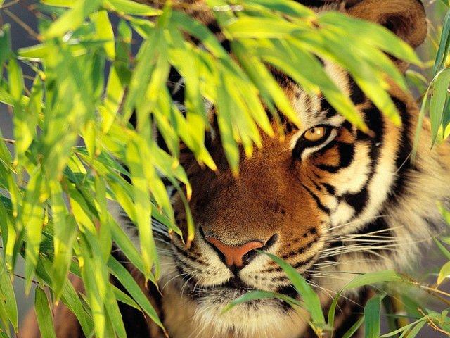 Тигр в листве