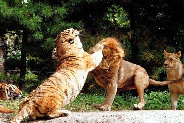 Тигр сражается со львом
