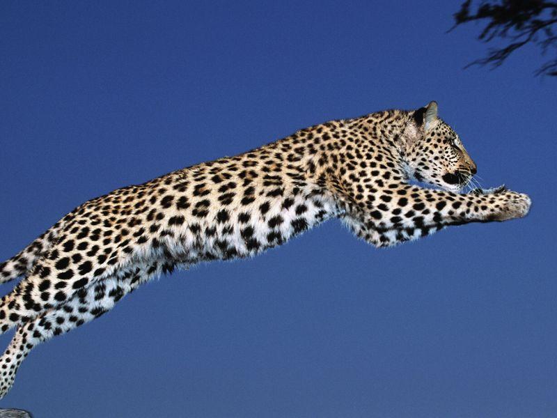 Кто быстрее: гепард или леопард