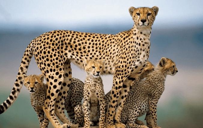 Гепард с детёнышами