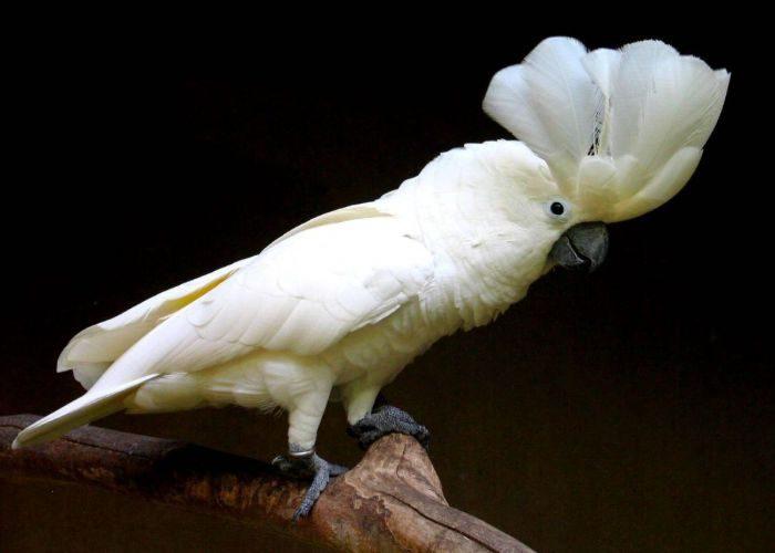 Большой белохохлый какаду