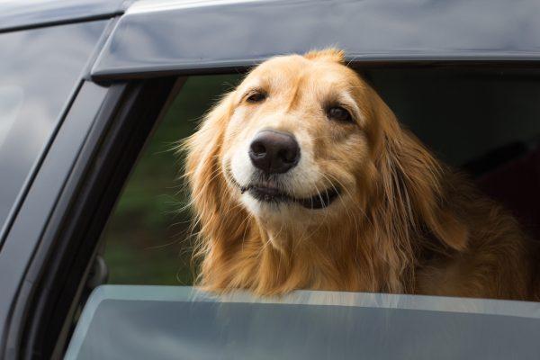 Собака в жару в машине