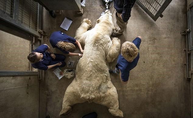 У медведя берут анализы