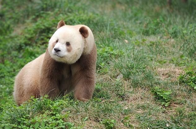 Бело-коричневая панда Квизая
