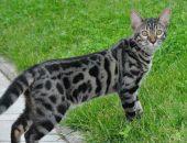 Бенгальская дикая кошка