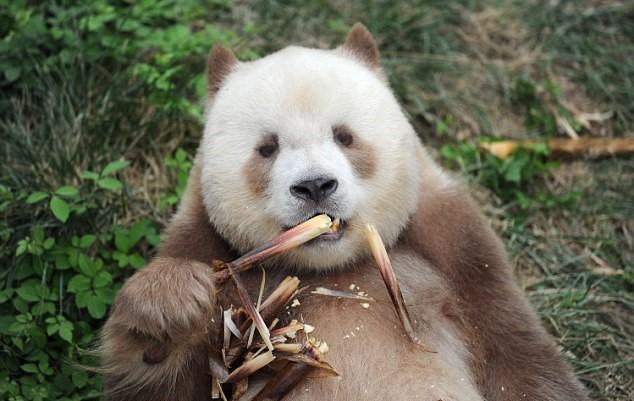 Квизая — бело-коричневая панда