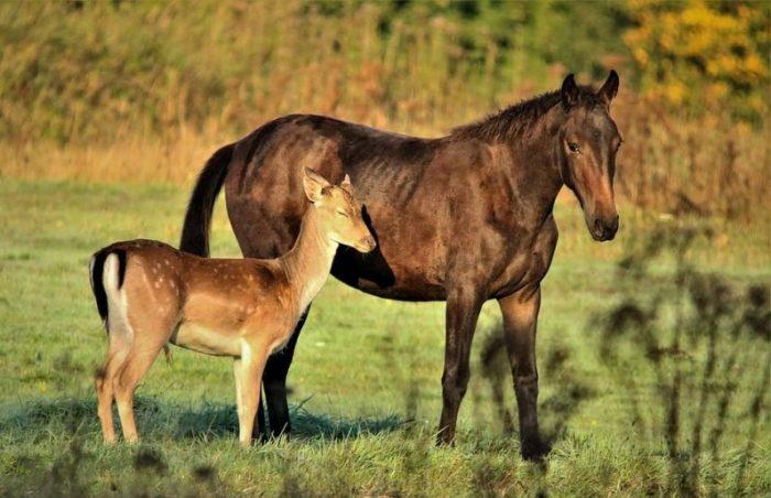 Лошадь считает оленёнка своим детёнышем