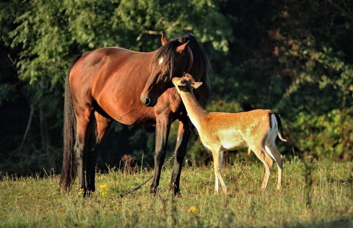 Лошадь заботится об оленёнке