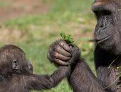 мама-шимпанзе
