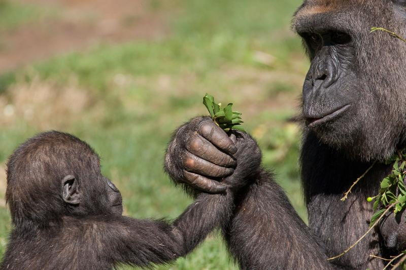 Шимпанзе играют со своими детьми так же, как и люди