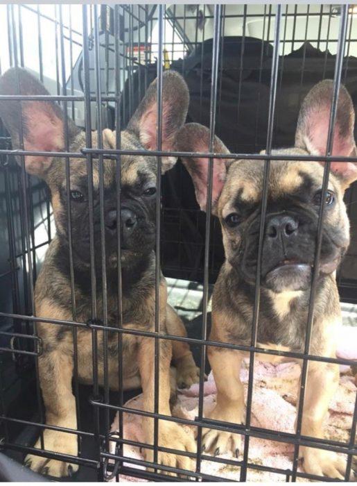 Найденные щенки французского бульдога