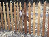 Оленёнок застрял в заборе