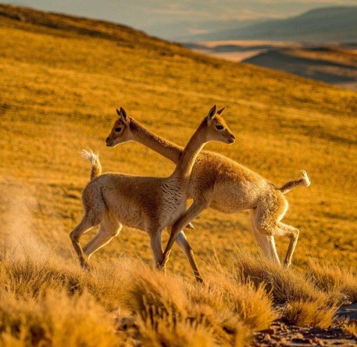 Самцы викуний сражаются за территорию