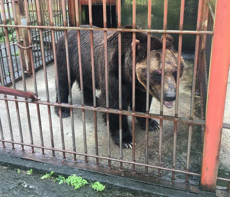 После 17 лет заточения медведи впервые ходят по земле
