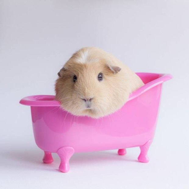 Очаровательная морская свинка Бубу в розовой ванночке