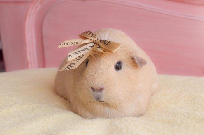 Самая милая свинка Бубу с оригинальным бантом на голове