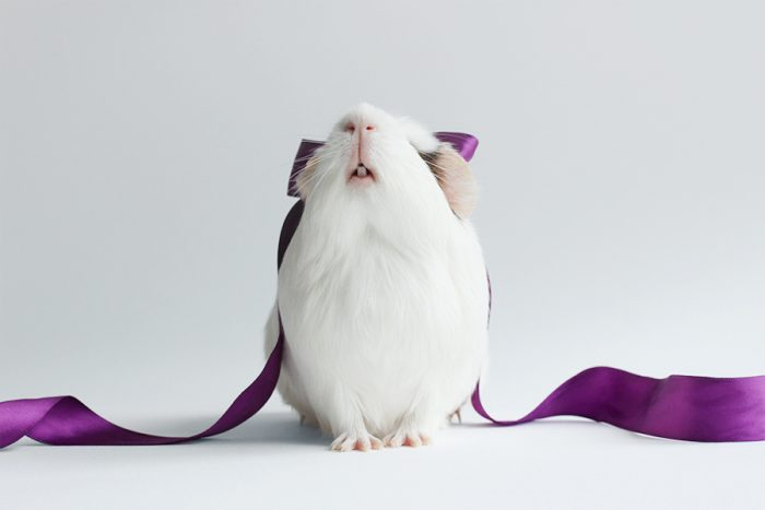 Морская свинка Бубу с фиолетовой лентой