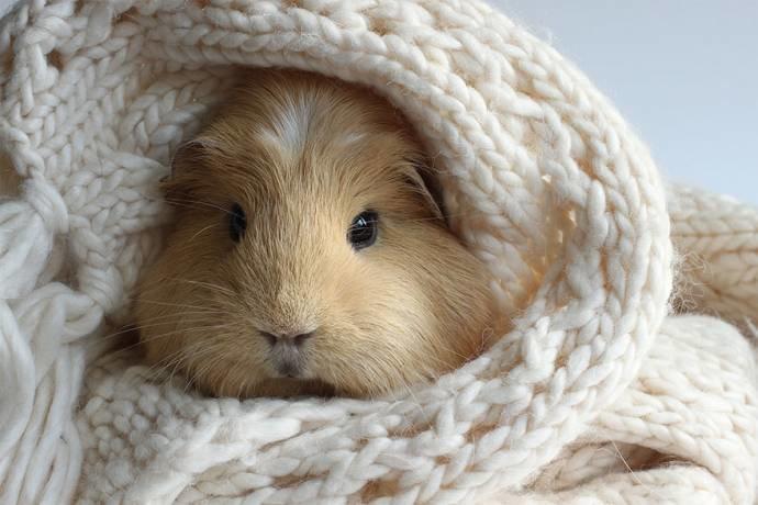 Морская свинка Бубу в вязаном шарфе