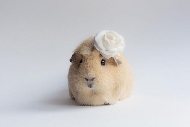 Морская свинка Бубу с белой розой на голове