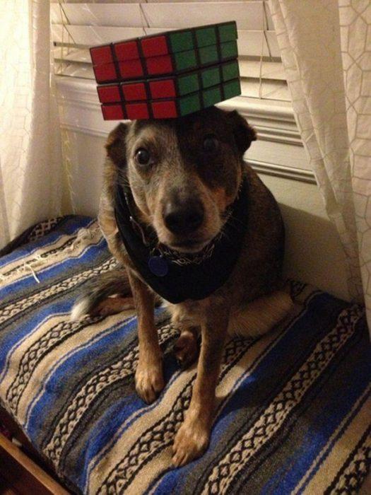 Собака с кубиком Рубика на голове