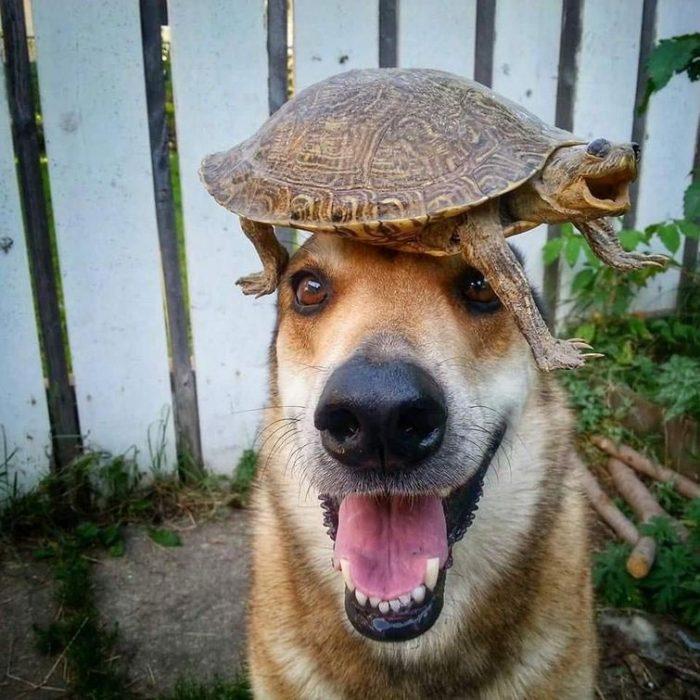 Собака с черепахой на голове