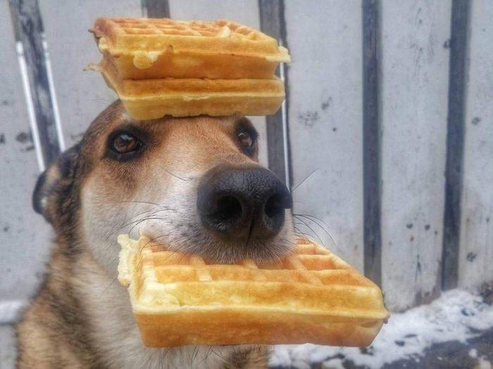 Собака с вафлями на голове
