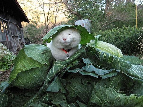 Белый кот спит в капустных листьях