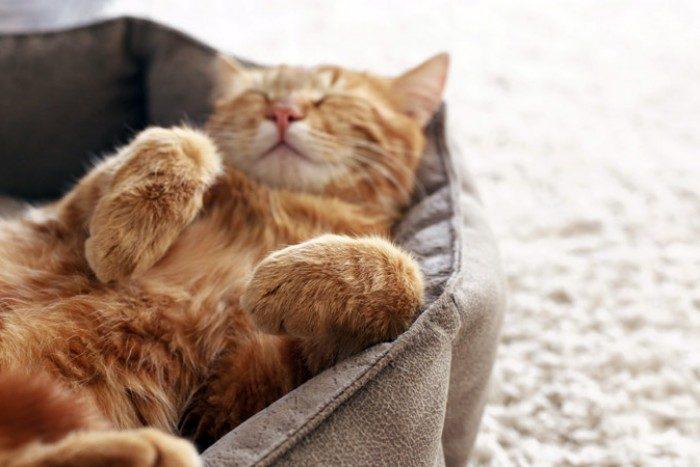 Рыжий кот спит на спине