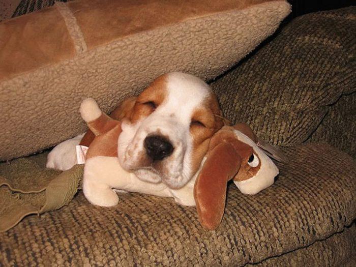 Живой щенок с плюшевым щенком