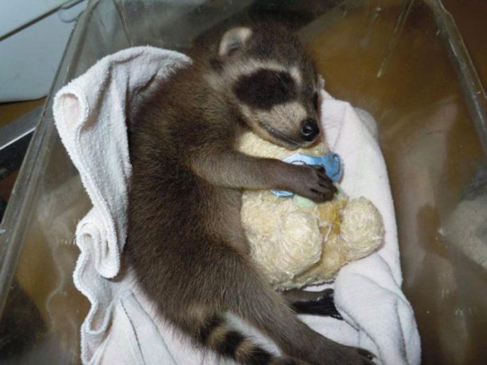 Енот спит с мягкой игрушкой
