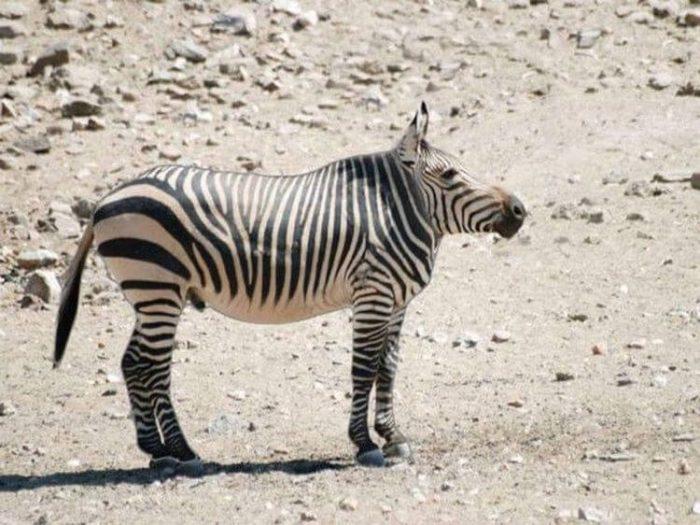 зебра без шеи