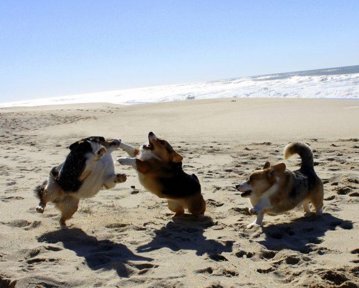 собаки без шеи