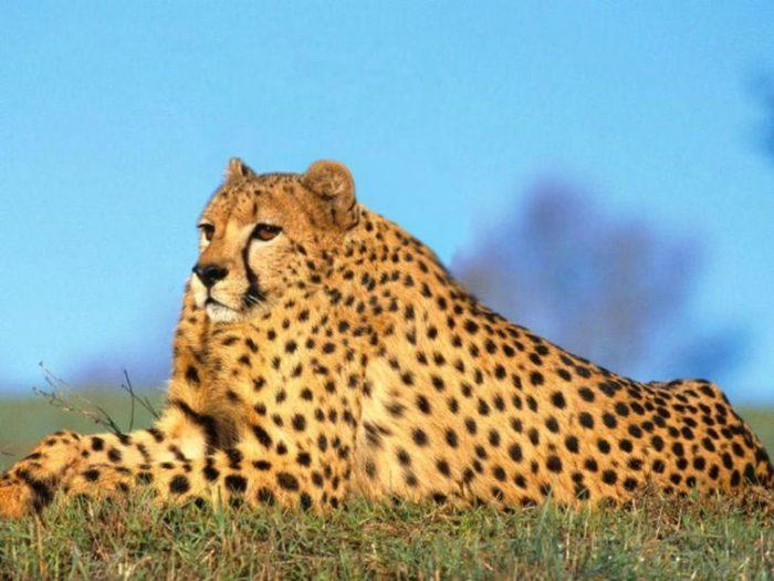 гепард без шеи
