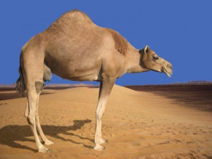 жираф без шеи