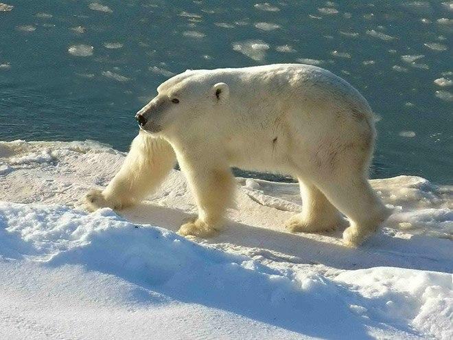 медведь без шеи